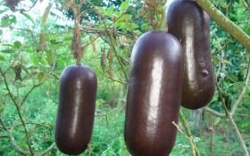 Духм'яна гостя з Бразилії: вирощуємо єкзотичну сікану