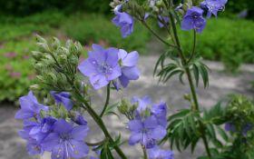 Как вырастить полемониум в своем саду?