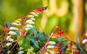 Барвистий карнавал квіток: міна лобата у садибі