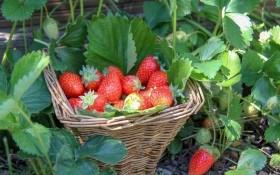 Перші ягоди – найсолодші:  як впливати на строки дозрівання врожаю ягідних культур