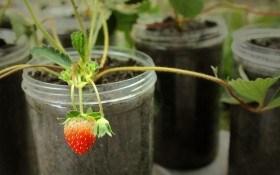 Зелені, фріго чи контейнерні: тонкощі вибору саджанців садової суниці