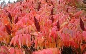 В золотих та пурпурових шатах: декоративні садові рослини восени