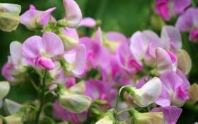 """Запашні """"метелики"""" злетіли: прикрашаємо садибу романтичним духмяним горошком"""