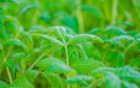 Особливості боротьби з кореневими та стебловими гнилями розсади овочевих культур