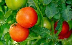 Захист картоплі та томатів від хвороб