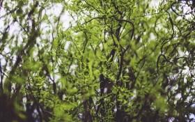 Химерна вигадка природи: верба Матсуди