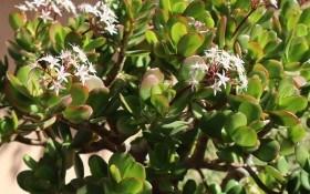 Мрія Буратіно: як вирощувати грошове дерево