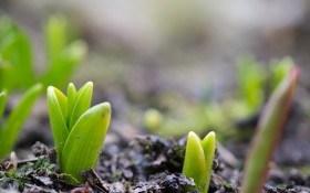 Весна починається у вересні: технологія вигонки тюльпанів для раннього цвітіння
