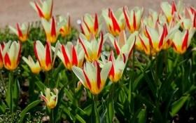 Тріумф тюльпанів: ботанічні види у дизайні саду