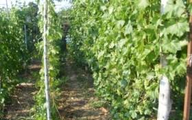 """В """"палких обіймах"""" спеки: вплив погодних умов на виноград"""