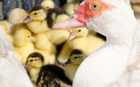 Мускусная утка: особенности выращивания и размножения