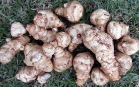 Земляна дивина: поради з вирощування топінамбура