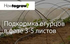 Урок 10: підживлення огірків у фазі 3-5 листочків