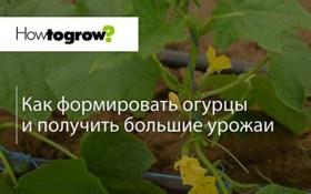 Урок 11: формування рослин огірків для отримання високого врожаю