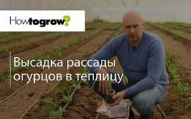 Урок 8: висадка розсади огірків в теплицю
