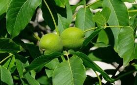 Щоб усім вистачило на горіхи: вирощуємо, розмножуємо та щепимо