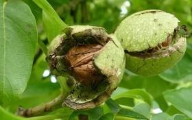 Дерево жизни: целебные и питательные свойства грецкого ореха