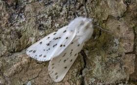 Непроханий гість: американський білий метелик і заходи боротьби з ним