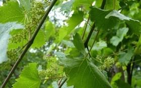 Тонкий расчет: зеленые операции на винограднике