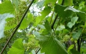 Уход по расписанию: фенологический календарь на винограднике