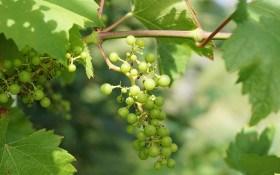 Виноград у перший місяць літа: час для формування великого врожаю