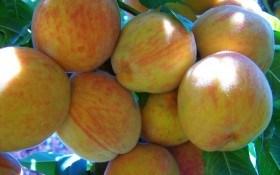 Втомлені сонцем: як виростити продуктивний персиковий сад у несприятливих для культури умовах