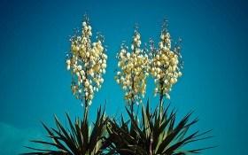 Юкка нитчатая — вечнозеленая красавица. Выращивание, размножение, декор