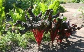 Выращивание мангольда: посадка, уход и польза