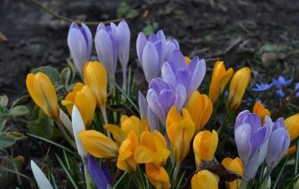 Готуємось до весняного балу: висаджуємо цибулинні у квітник