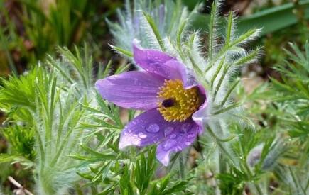 Таємнича сон-трава: види прострілу у садибі