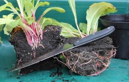 Поділити, щоб помножити! Вегетативне розмноження квітів, поділ кореневищ та бульбоцибулин