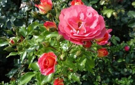 Красиві, але примхливі: особливості догляду за виткими трояндами