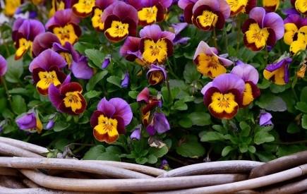 Ніжна і чудова квітка: вирощування садової фіалки, види та сорти