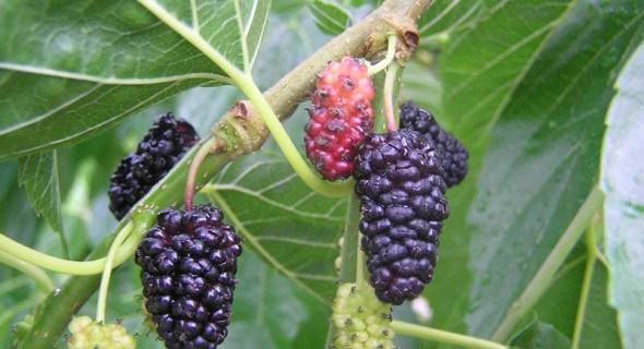 Для здоров'я та заробітку: вирощуємо шовковицю