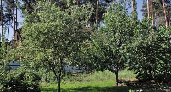 """Що таке """"кербування""""? Регулюємо ріст та плодоношення плодових дерев"""