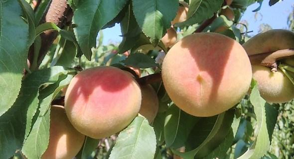 Фундамент здорового саду: найкращі підщепи для персика