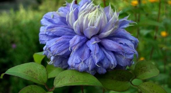 Блакитна рапсодія: сорти клематісів з синіми квітками