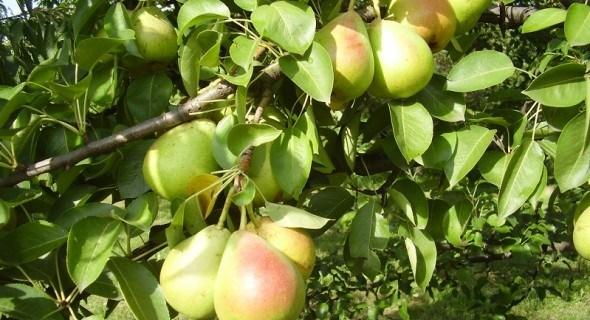 Осінь – солодка на смак: ранні сорти груш