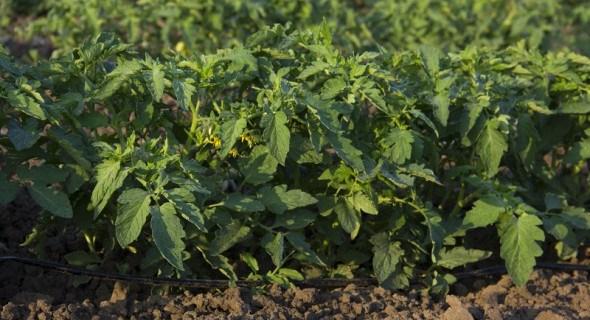 Хвороби, що вражають розсаду, та захист від них
