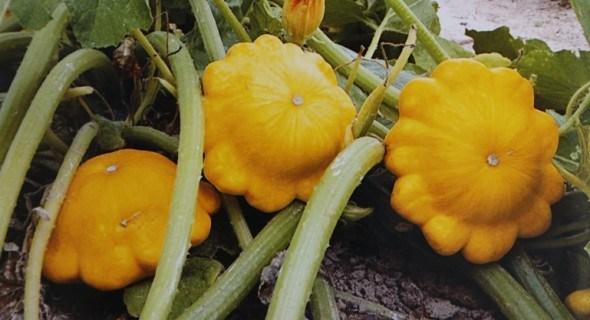 Патисон – непримхливий та вдячний овоч: вирощуємо розсадним та безросадним способом