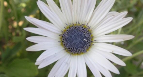 """Чарівне """"ведмеже вухо"""": особливості вирощування різних видів арктотіса"""