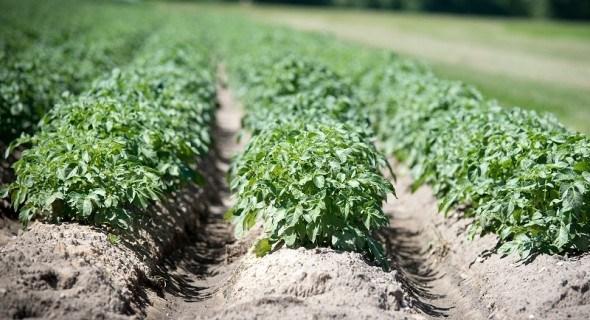 Захист картоплі, щоб виростити здоровий урожай