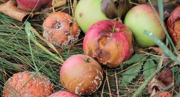 Без хвороб і без проблем: як правильно зберігати яблука у сховищах