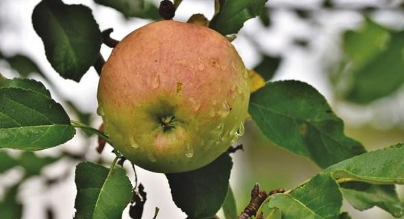 Плодові рослини і вода: види та режим поливів у саду, агротехнічні прийоми для зберігання вологи в ґрунті