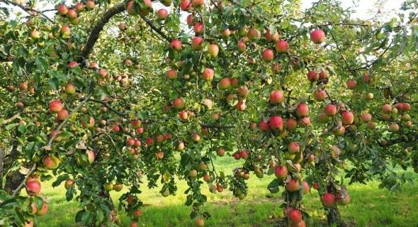 Просто, як все геніальне: локальний полив та внесення добрив у саду