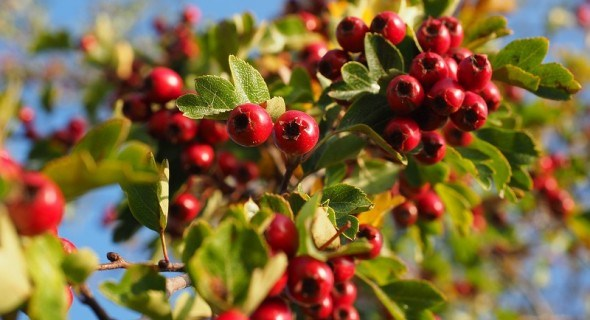 Садова аптека: вирощуємо цілющі культури – барбарис та глід