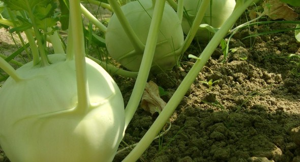 Таємнича кольрабі: вирощуємо найкориснішу з капуст