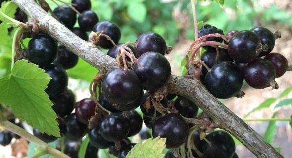 Ставка на чорне: агротехніка смородини та продуктивні сорти для вирощування в Україні