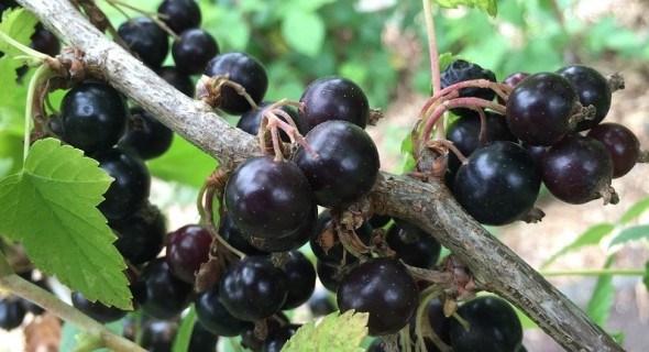 Прийшов час ягідників: осіння посадка чорної смородини