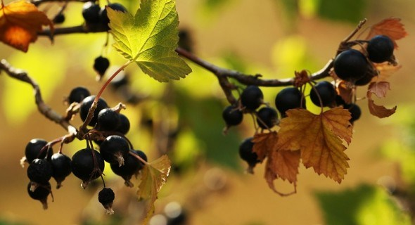 Чорна смородина восени: посадка, догляд та живлення рослин